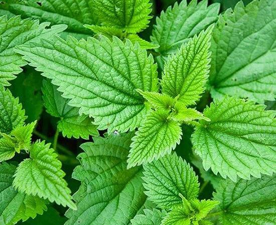 Loại thảo mộc chứa nhiều dưỡng chất tốt cho sự phát triển của trẻ